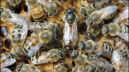rebirth : Queen bee is always surrounded by the workers bees - their servant. Stock Footage