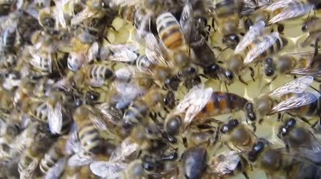 возрождение : Queen bee is always surrounded by the workers bees - their servant. Стоковые видеозаписи