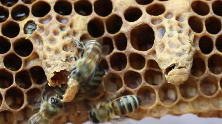 pszczoła : Bees help the Queen Bee to get out of the cocoon. Wideo
