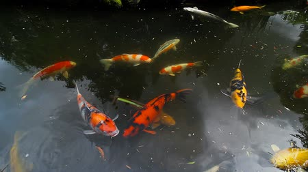 золотая рыбка : High definition 1080p movie of colorful koi fish swimming in pond in Japanese Garden 1920x1080