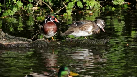 tyúk : High definition movie of a pair of wood ducks preening themselves and resting on a log while some mallards swim by in a pond with water reflection 1920x1080 hd