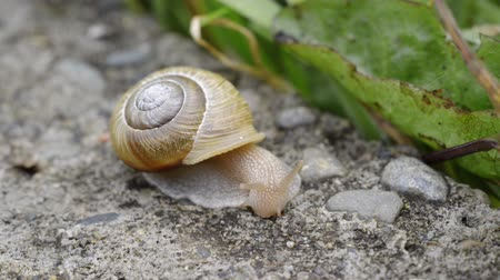 salyangoz : Snail moving its head and mouth around on pavement Stok Video