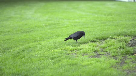 trawa : A crow digging up worms from the grass, carrying them in its beak.