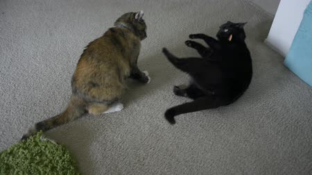 kotki : Cats fighting with each other, then darting in opposite directions.