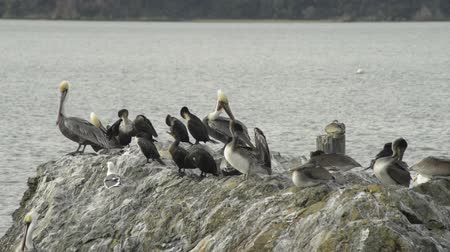 California Brown Pelicans, Cormorants, and seagulls on a rocky surface, water in the background. The birds grooming, plucking at their feathers, preening. A couple birds stretch out their wings.