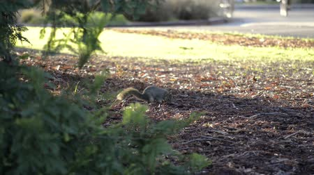 A Fox Squirrel searching the ground for food near dusk, bikes going by on a path in the background