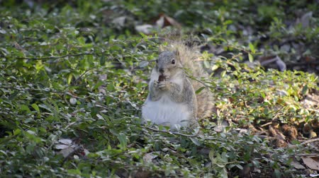 roedor : Close up shot of a Fox Squirrel chewing and eating a seed among some vegetation on the ground. Vídeos