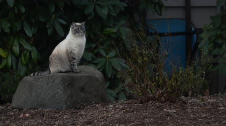 A Siamese cat confidently sitting on a rock, looking around.