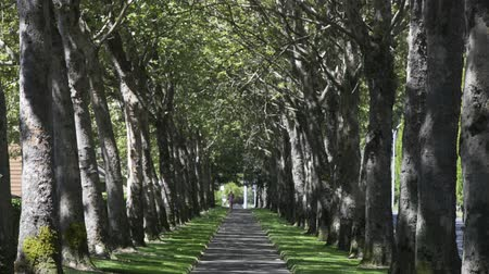 pěšina : Tilting down from overhead branches to a sidewalk lined on both sides with trees in the summer. A woman jogging in the distance. Dostupné videozáznamy