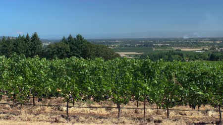 A field of vines with red wine grapes, Mt. Hood in the background.  Camera pans, revealing view of Willamette valley farmland below.