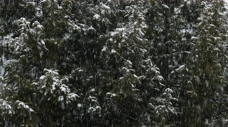 Snowing heavily on a winter day, with fir trees in the background, with some snow accumulated on them.
