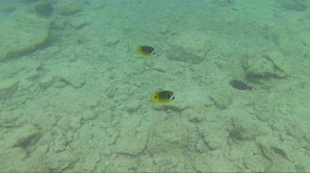 Moving close to a few Raccoon Butterflyfish in the waters of Oahu, Hawaii, looking for food on a rocky bottom. Stok Video