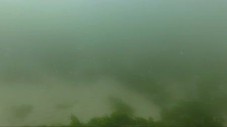 alga : Underwater on the Oregon coast with a strong current and low visibility. Small juvenile moon jellyfish float by. A rock with seaweed and barnacles is on the bottom of the frame Stock Footage