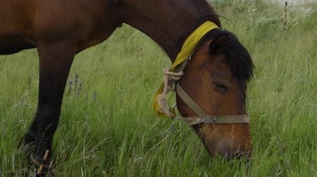 friesian : Lonely Beautiful brown horse in the green meadow, close up.