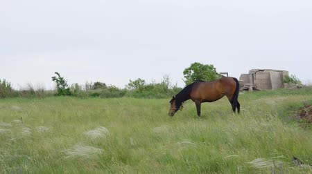 friesian : Lonely Beautiful brown horse in the green meadow