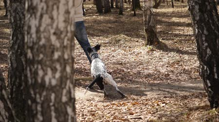 бдительный : Dalmatian dog playing with man in park autumn. Adorable dalmatian dog outdoors in autumn, slow motion