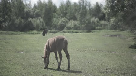 fetid : Cattle in the corral. Horses eating the grass inside the corral. A horses grazes is a pasture
