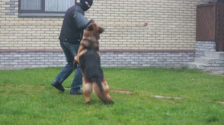 almanca : Police dog attacks a criminal Stok Video
