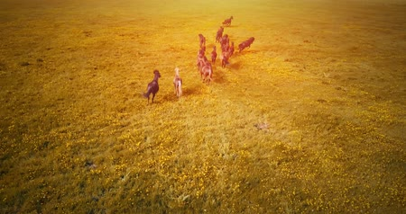 yaşama gücü : A herd of running horses at sunset