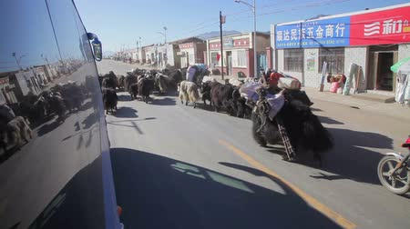 тибетский : XINING - 06 JUL 2015: People are herding yak near Xining, Qinghai Province,China