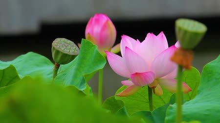 polinização : pink lotus flower and lotus bud in a pond.