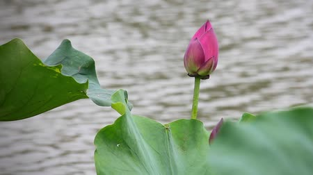 coletando : A pink lotus flower and lotus bud in a pond.