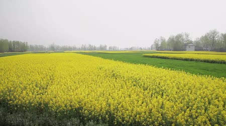 rape : Cole flowers are taken in Hanzhong,china Stock Footage