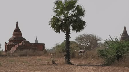 paya : Panorama in Bagan with many temples and stupas and cultivated field in front. Stock Footage