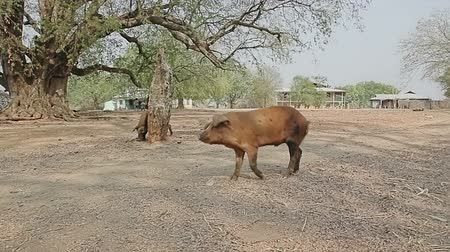 domestic animals : Pig walking trough the center of village near Bagan, Burma