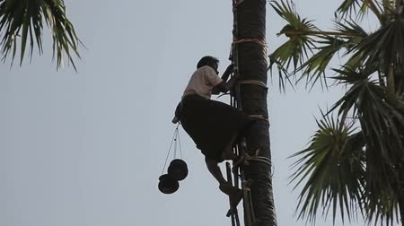 palce : BAGAN, MYANMAR - FEBRUARY 24, 2013: Coconut picker climbs the palm tree to pick coconuts.