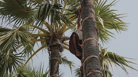 amadurecida : BAGAN, MYANMAR - FEBRUARY 24, 2013: Coconut picker comes down from palm tree with a pots full of palm juice..