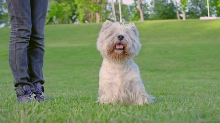 sampiyonlar : West Highland White Terrier standing on a green meadow. Stok Video