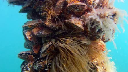ostrygi : Underwater scene with oysters and anemones. Shot in Croatia. Wideo