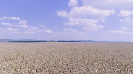 Corn field aerial Stock Footage