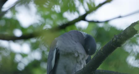 bonds : Turtledove on the tree branch Stock Footage