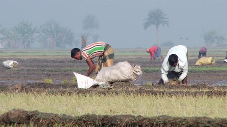 bitki : Jessore, Bangladesh, February 19, 2014 - People plant rice at the rice field in Jessore, Bangladesh. Rice is the main agricultural product in Bangladesh.