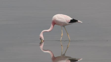 Анды : Flamingo at the salt lake water in Atacama desert, Chile.