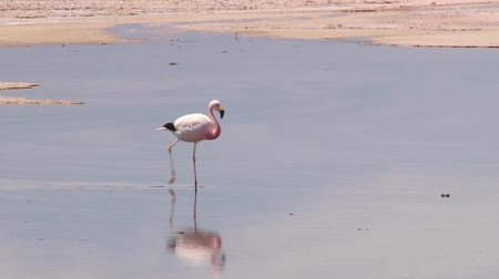 chilean flamingo : Beautiful flamingo walks by the shallow salt lake in Atacama desert, Chile. Stock Footage