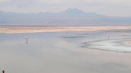 chilean flamingo : View to the salt lake with flamingos in Atacama desert, Chile.