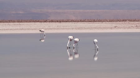 chilean flamingo : Flamingos at the salt lake in Atacama desert, Chile.