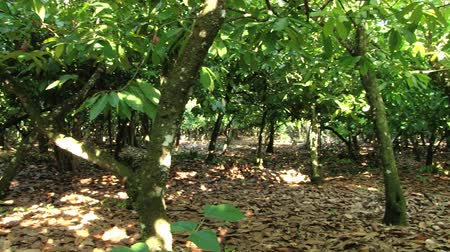 vagens : View to the cocoa trees at the plantation in Dominican Republic. Vídeos