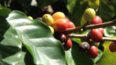 plantio : Red Arabica coffee beans at the plantation in Jarabacoa in Dominican Republic.