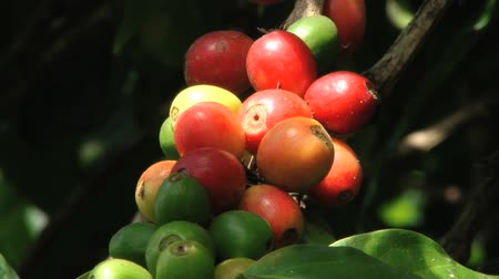 кофе : Red Arabica coffee beans at the plantation in Jarabacoa in Dominican Republic.