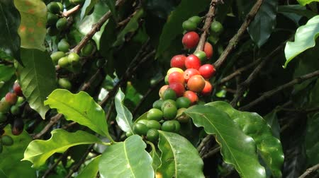 caféier : grains de café Arabica rouges à la plantation à Jarabacoa en République Dominicaine.