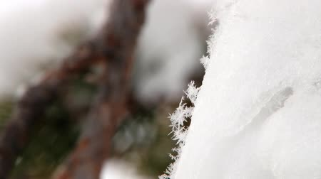 saariselka : View to the snow flakes at a pine tree branch covered with snow in the forest in Saariselka, Finland.