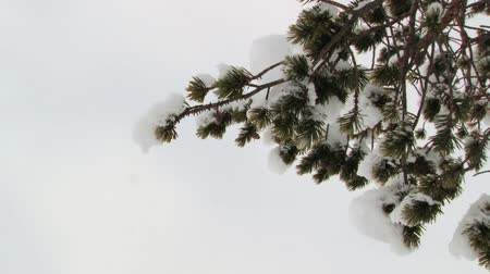 saariselka : View to the green pine tree branch covered with snow in the forest in Saariselka, Finland. Stock Footage