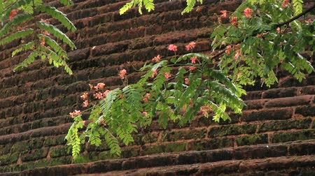polonnaruwa : Tree branch with the brick wall of the ruins of the Royal Palace of King Parakramabahu at the background in the ancient city of Polonnaruwa, Sri Lanka. Stock Footage