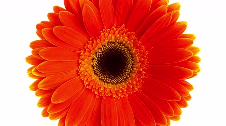 Orange gerbera rotate zoom out motion