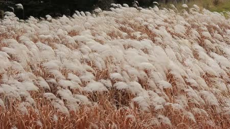 pampas grass blowing in the wind Stok Video