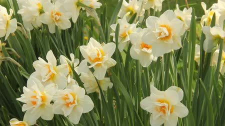 jonquil flowers waving in the wind